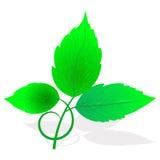 свежие листья зеленого цвета Стоковая Фотография