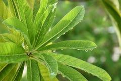 Свежие листья и падения воды Стоковые Фото