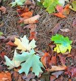 Свежие листья падения Стоковая Фотография RF