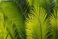 Свежие листья пальмы Стоковая Фотография RF