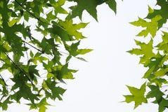 Свежие листья плоских деревьев стоковые фотографии rf