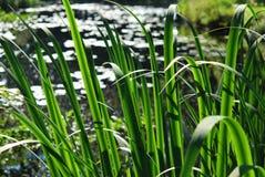 Листья спешкы Стоковая Фотография RF