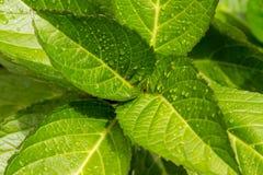 Свежие листья с падениями дождя Стоковое Изображение