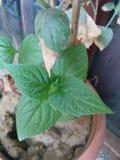 Свежие листья стоковая фотография rf
