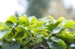 Свежие листья Стоковые Изображения