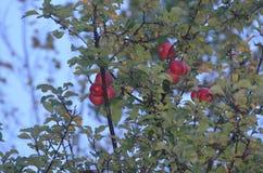Свежие и вкусные яблоки стоковое изображение