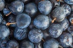 Свежие и естественно высушенные ягоды терновника стоковые фото
