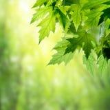 Свежие и зеленые листья Стоковые Изображения