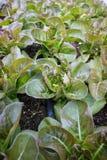 Свежие и здоровые красные салаты cos Стоковая Фотография RF