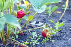 Свежие клубники в саде Стоковые Изображения