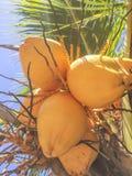 Свежие кокосы приносить на островах Гранады стоковая фотография