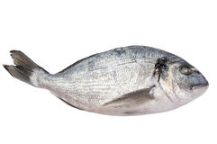 Свежие, котор замерли рыбы dorado Стоковое Изображение RF