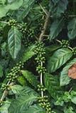 Свежие кофейные зерна зеленого цвета дерева кофе органические Стоковые Изображения