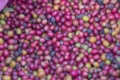 Свежие кофейные зерна зрея Стоковые Изображения