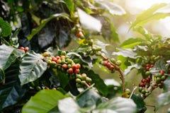Свежие кофейные зерна на деревьях пука стоковые изображения