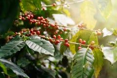 Свежие кофейные зерна на деревьях пука стоковое фото rf