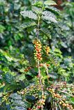Свежие кофейные зерна на деревьях пука стоковая фотография