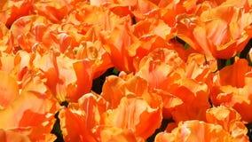 Свежие красивые большие насыщенные оранжевые цветки тюльпанов зацветают весной сад Декоративное цветение цветка тюльпана весной акции видеоматериалы