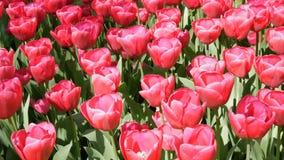 Свежие красивые большие насыщенные розовые цветки тюльпанов зацветают весной сад Декоративное цветение цветка тюльпана весной вну сток-видео