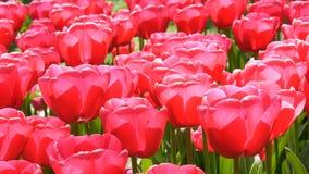Свежие красивые большие насыщенные розовые цветки тюльпанов зацветают весной сад Декоративное цветение цветка тюльпана весной вну акции видеоматериалы