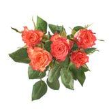 Свежие красные розы над предпосылкой изолированной белизной Стоковые Изображения RF