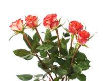 Свежие красные розы над предпосылкой изолированной белизной Стоковые Фотографии RF