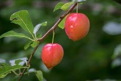 Свежие красные сливы вися в дереве Стоковое Изображение RF