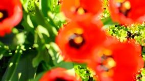 Свежие красные тюльпаны идут из фокуса акции видеоматериалы