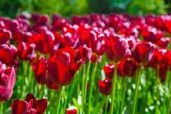 Свежие красные тюльпаны на конце-вверх flowerbed Стоковая Фотография