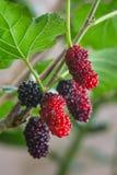 Свежие красные шелковицы на ветви Стоковая Фотография