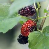 Свежие красные шелковицы на ветви Стоковые Фото