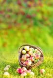 Свежие красные яблоки в корзине соломы Стоковая Фотография
