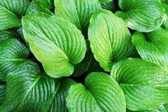 свежие листья зеленого цвета Стоковая Фотография RF
