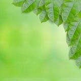свежие листья зеленого цвета Стоковое Изображение