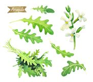 Свежие листья, цветки и пук Arugula изолированные на белой иллюстрации акварели Стоковое Изображение RF
