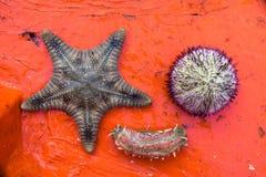Свежие морские звёзды, мальчишка моря, червь моря Стоковая Фотография