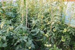 Свежие незрелые заводы томатов в eco садовничают Стоковая Фотография RF