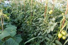Свежие незрелые заводы томатов в eco садовничают Стоковые Изображения RF