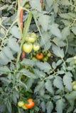 Свежие незрелые заводы томатов в eco садовничают Стоковые Изображения