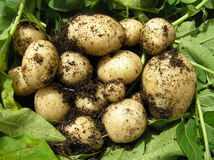 свежие новые картошки Стоковое Фото