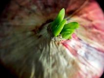 Свежие новые листья бутона красного лука в черной предпосылке Стоковое Изображение RF