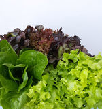 Свежие овощи гидропоники Стоковые Фотографии RF