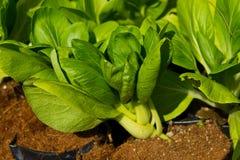 Свежие овощи, тайские Стоковая Фотография