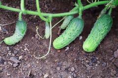 Свежие огурцы растут в саде стоковая фотография