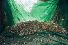 Свежие оливки жать от агрономов в поле оливковых дерев для дополнительной виргинской продукции оливкового масла Стоковое фото RF