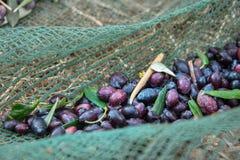 Свежие оливки жать от агрономов в поле оливковых дерев для дополнительной виргинской продукции оливкового масла Стоковое Фото