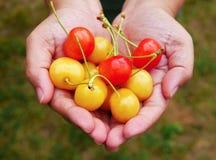 Свежие органические вишни на женщине вручают предпосылку после выбирать от фермы вишни Стоковое Изображение