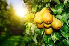 Свежие органические груши на ветви дерева Стоковая Фотография