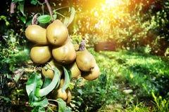 Свежие органические груши на ветви дерева Стоковые Изображения RF