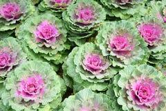 Свежие органические зеленые цвета collard, сад капусты Стоковое Изображение RF